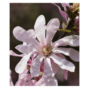 Magnolia Stellata Rosea 2L