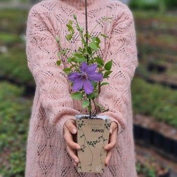 Gift seedling Clematis...