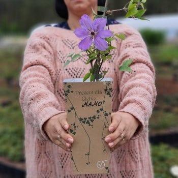 Gift seedling Clematis Baltyk 2L