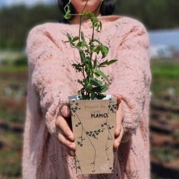 Gift seedling Clematis Polish Spirit 1L