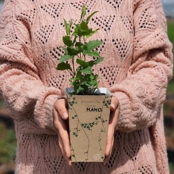 Gift seedling Clematis Heather Herschell 1L