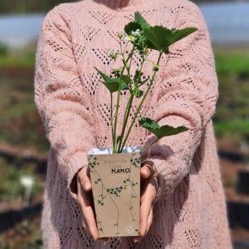 Gift seedling Strawberry...