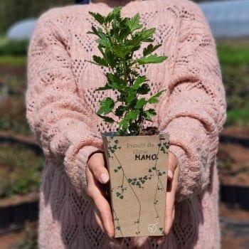 Gift seedling Red Gooseberry Hinnonmaki rot  1L