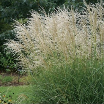 Chinese Miscanthus...