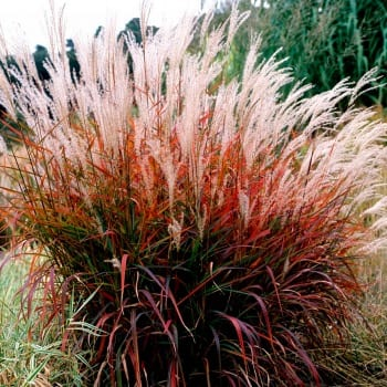 Chinese Miscanthus Dronning Ingrid 1L