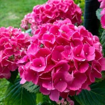 Гортензия садовая Масъя 1L