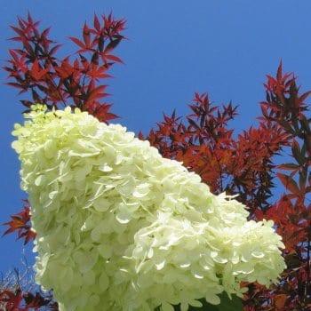 Bouquet Hydrangea Polar...