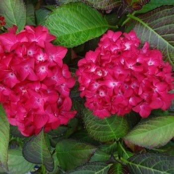 Hydrangea macrophylla Red Baron 1L