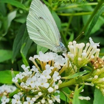Schmetterlingsflieder Nanho...