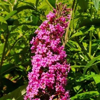 Schmetterlingsflieder Pink...