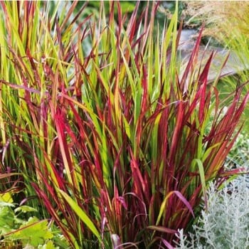 Imperata cylindrica Red...