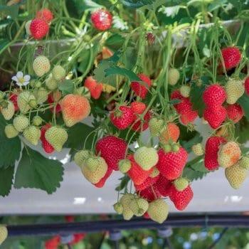 Strawberry Selva 1L