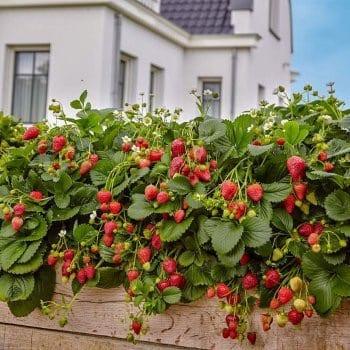 Strawberry Akcent 1L