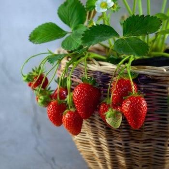 Strawberry Korona 1L