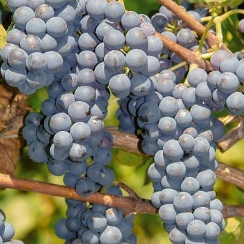 Grapevines Leon Millot 1L