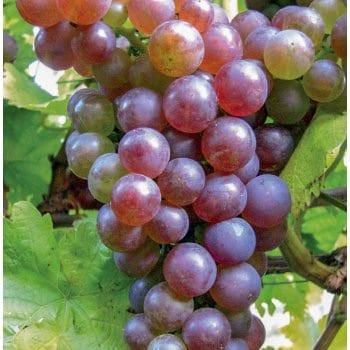 Grapevine Reliance 1L