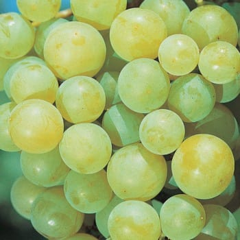 Виноград Иза Заливска 2L