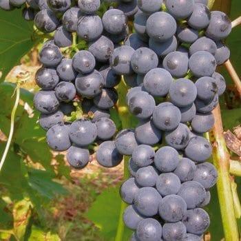 Grapevine Marechal Foch 2L