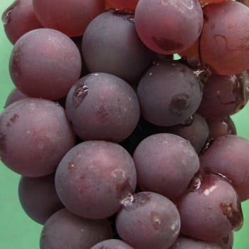 Виноград Лидия 1L