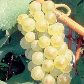 Виноград Аврора 2L