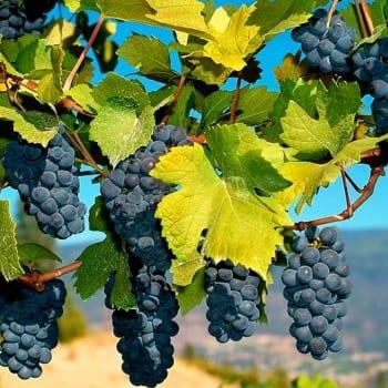 Winorośl pachnąca Ania 1L