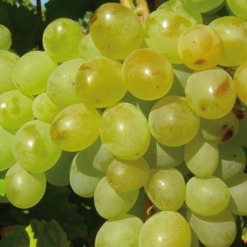 Виноград A 1704 1L