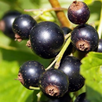 Blackcurrant 'Titania' 1L