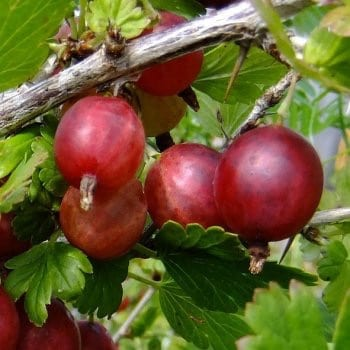 Red Gooseberry Hinnonmaki...