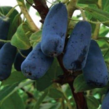 Kamchatka berry Indigo Gem 1L