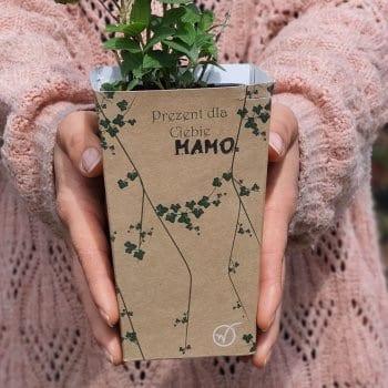 Gift seedling Clematis Mrs...