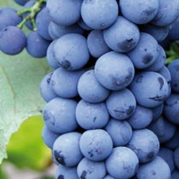 Grape Nero 1L