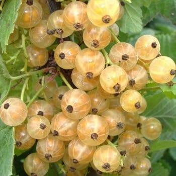 Snowy gooseberry 'Blanka' 1L