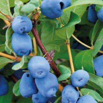Kamczacka Berry Zojka 1L