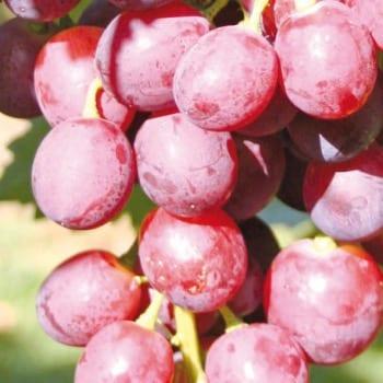 Grapevine Swenson Red 1L