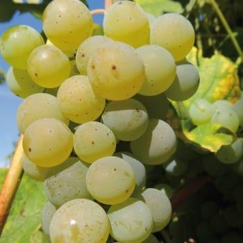Grapevine Cayuga White 1L