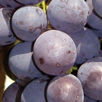 Grapevine Alden 1L