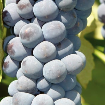 Grapevine Cascade 2L