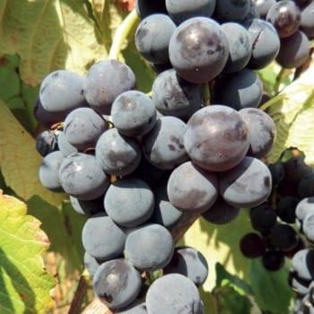 Виноград Венера 1L