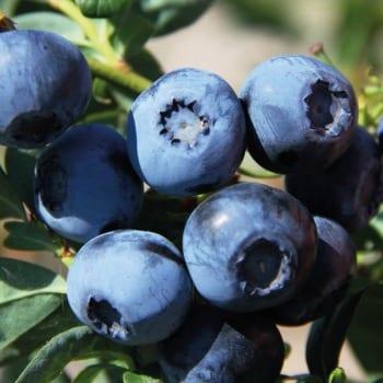 Blueberry Bilberry Bluecrop 1L
