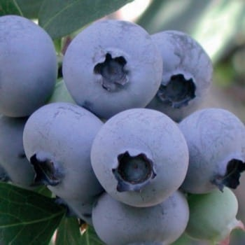 Blueberry Bilberry Bluejay 1L