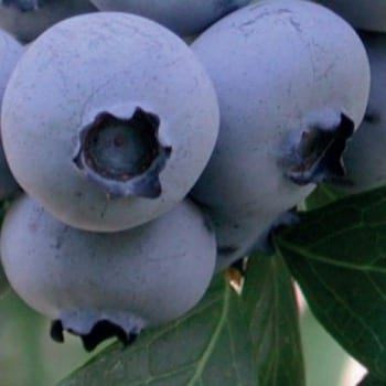Blueberry Bilberry Bonus 1L