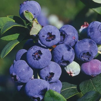 Blueberry Bilberry Darrow 1L