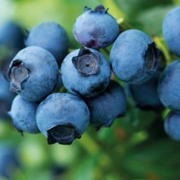 Blueberry Bilberry Duke 1L