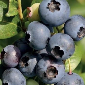 Blueberry Bilberry...