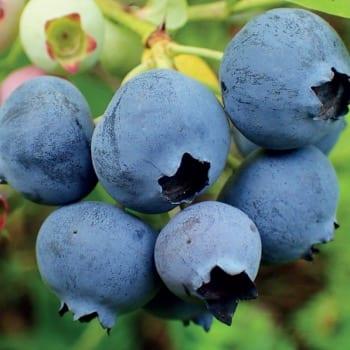Blueberry Bilberry Elliot 1L