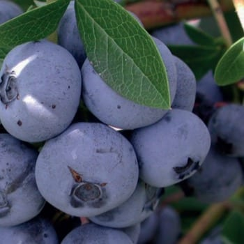 Blueberry Bilberry Nelson 1L