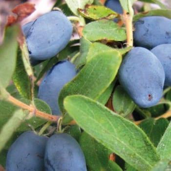 Kamchatka Berry Wojtek 1L