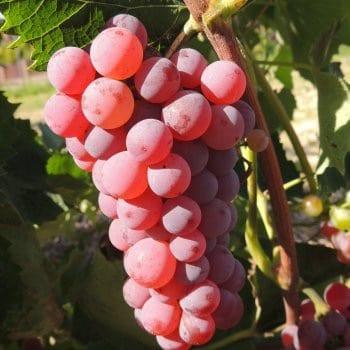 Grapevine Canadice 1L