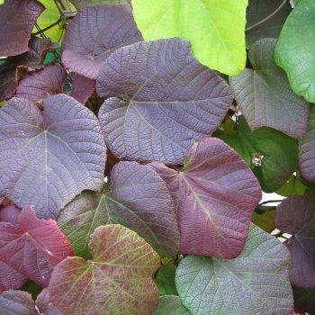 Winorośl japońska 1L