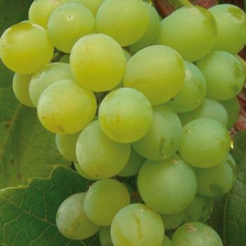 Виноград Интерлакен 1L